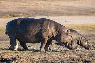 Hippopotamus - A pair of hippopotamus in Chobe National Park, Botswana