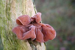 Hirneola auricula-judae (xndr)