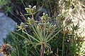 Hladnikia pastinacifolia.jpg