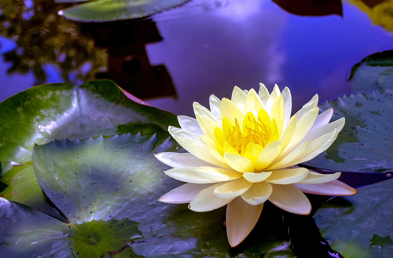 Choosing the best pond plants swell uk for Best aquatic plants