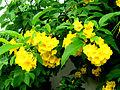 Hoa và lá cây chuông vàng.jpg