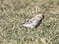 Hoary Redpoll (individual 1), Oakfield, MI, February 4, 2012 (6818880249).jpg
