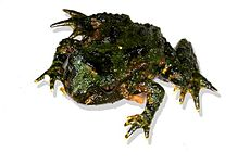 Hochstetter's Frog without Moss.jpg