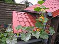 Hokkaido-Kürbis auf Scheunendach, 09- 2014. - panoramio.jpg