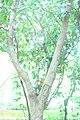 Holarrhena-antidysenterica 06.jpg