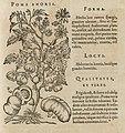 Holzschnitt Tomatepflanze 1586.jpg