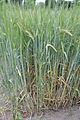 Hordeum vulgare, wintergerst (1).jpg