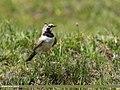 Horned Lark (Eremophila alpestris) (36164972062).jpg