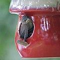 House Wrens Fledging (4880615798).jpg