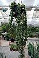 Hoya carnosa 10zz.jpg
