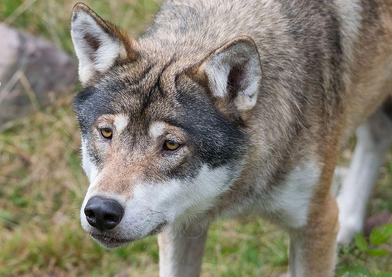 File:Hungry wolf (14911757359).jpg