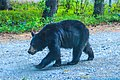 Hwy 1 & 2 Anchorage to Yukon - camping near Glennallen, Ak - this bear bumped into my car while I was in it writing up my diary!!!. (16005341360).jpg