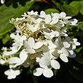 Hydrangea paniculata-IMG 8628.jpg