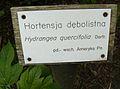 Hydrangea quercifolia, Kornik (2).JPG