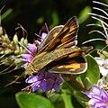 Hylephila phyleus-Female-2.jpg