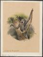 Hylobates leuciscus - 1700-1880 - Print - Iconographia Zoologica - Special Collections University of Amsterdam - UBA01 IZ19800117.tif