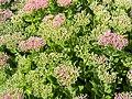 Hylotelephium telephium subsp. telephium Rozchodnikowiec purpurowy 2018-08-12 04.jpg