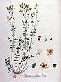 Hypericum pulchrum — Flora Batava — Volume v11.jpg