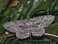 Hypomecis roboraria - Great oak beauty - Дымчатая пяденица большая (40883815422).jpg