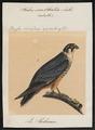 Hypotriorchis subbuteo - 1700-1880 - Print - Iconographia Zoologica - Special Collections University of Amsterdam - UBA01 IZ18200274.tif