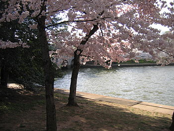 IMG 2334 - Washington DC - Tidal Basin - Cherry Blossoms.JPG