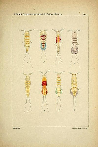 File:I copepodi harpacticoidi del golfo di Genova (Tav. I) (7166717511).jpg