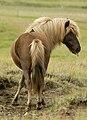 Icelandic Horse4.jpg