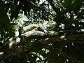 Iguana en Miranda.JPG