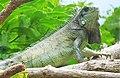 Iguana iguana (Reptilia).jpg
