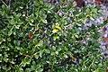 Ilex crenata Green Luster 0zz.jpg
