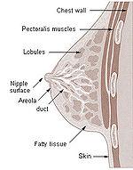 Illu breast anatomy.jpg