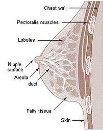 Cross section of the breast of a human female.