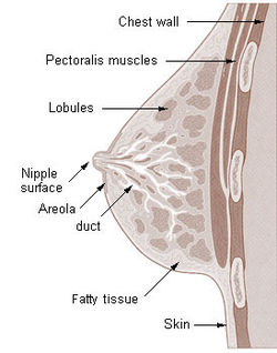 Cross section of the breast of a human female