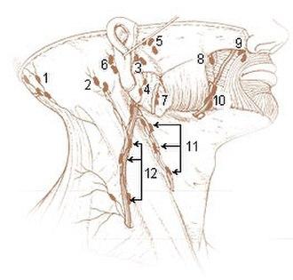 Occipital lymph nodes - Lymph nodes at surface: