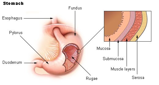 Illu stomach2