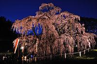 Illuminated Takizakura.jpg