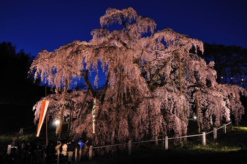 ファイル:Illuminated Takizakura.jpg