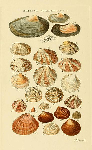 File:Illustrated Index of British Shells Plate 04.jpg