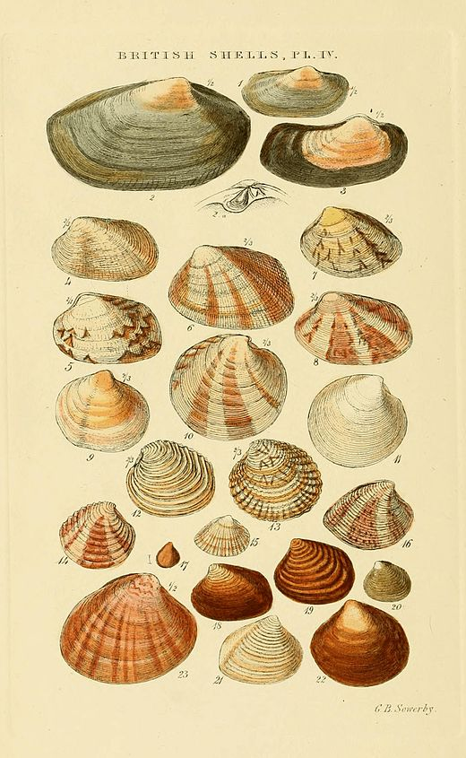 Illustrated Index of British Shells Plate 04.jpg