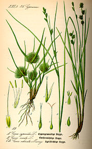 Illustration Carex remota0.jpg