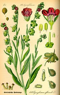 Illustration Cynoglossum officinale0