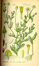 Illustration Matricaria chamomilla0.jpg