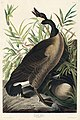 Illustration from Birds of America (1827) by John James Audubon, digitally enhanced by rawpixel-com 201.jpg