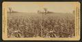 In the great corn fields of eastern Kansas, U.S.A, by Underwood & Underwood 2.png