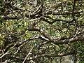 Indian Bully Tree (6326358798).jpg