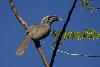 Indian Grey Hornbill - Ocyceros birostris - DSC03965 (cropped).jpg