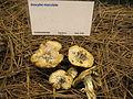 Inocybe maculata 68539.jpg