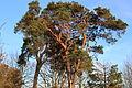 Interessanter Baum auf dem Rodderberg.JPG