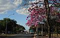 Ipê-roxo em Brasília 08.jpg
