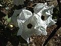 Ipomoea arborescens Fleurs.jpg